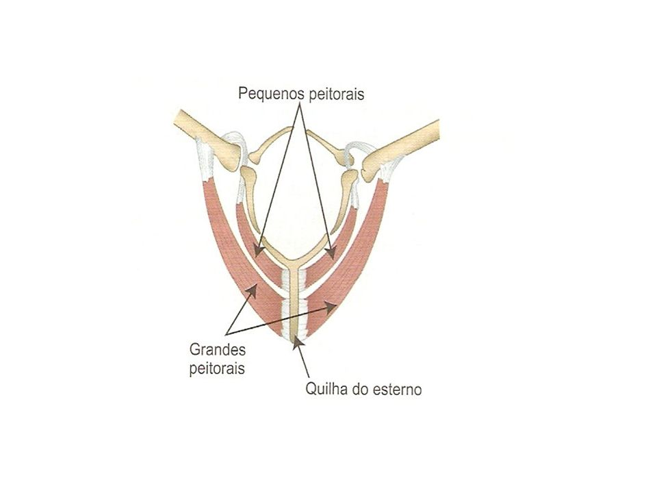 Homeotermia : aves e mamíferos Pêlos e penas; Arrepio; Tremor; Glândulas Mamárias; Ofegação; Hipoderme de gordura; Mais ou menos apetite;