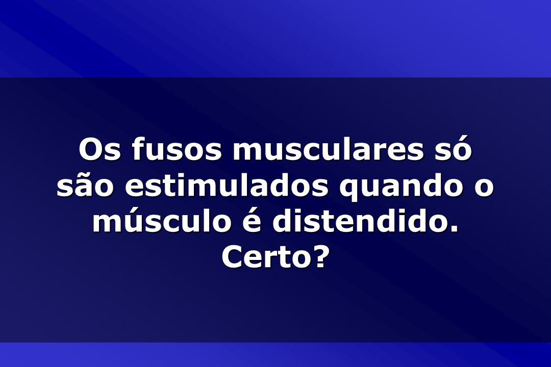 Os fusos musculares só são estimulados quando o músculo é distendido. Certo?