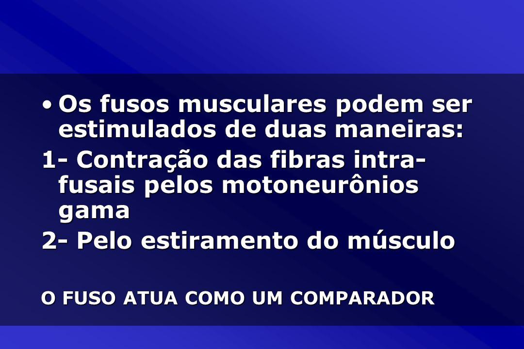 Os fusos musculares podem ser estimulados de duas maneiras:Os fusos musculares podem ser estimulados de duas maneiras: 1- Contração das fibras intra-
