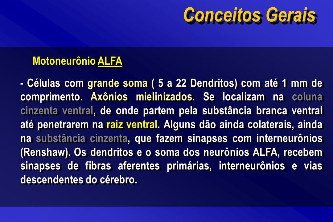 Motoneurônio ALFA - Células com grande soma ( 5 a 22 Dendritos) com até 1 mm de comprimento. Axônios mielinizados. Se localizam na coluna cinzenta ven