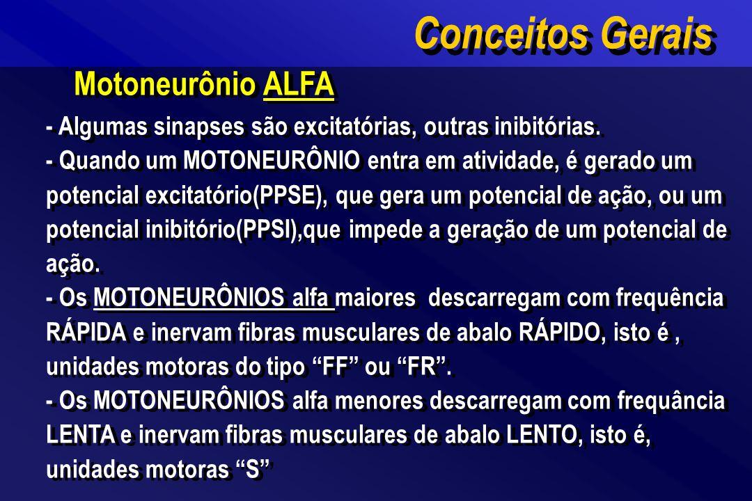 Motoneurônio ALFA - A contração(tensão) de um músculo é regulada por 2 fatores : A) Frequência de atividades dos MOTONEURONIOS ALFA B) Número de MOTONEURÔNIOS ALFA ativos * Os motoneurônios menores são ativados primeiro.