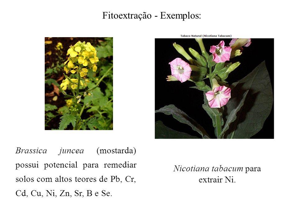 Fitoextração - Exemplos: Brassica juncea (mostarda) possui potencial para remediar solos com altos teores de Pb, Cr, Cd, Cu, Ni, Zn, Sr, B e Se. Nicot