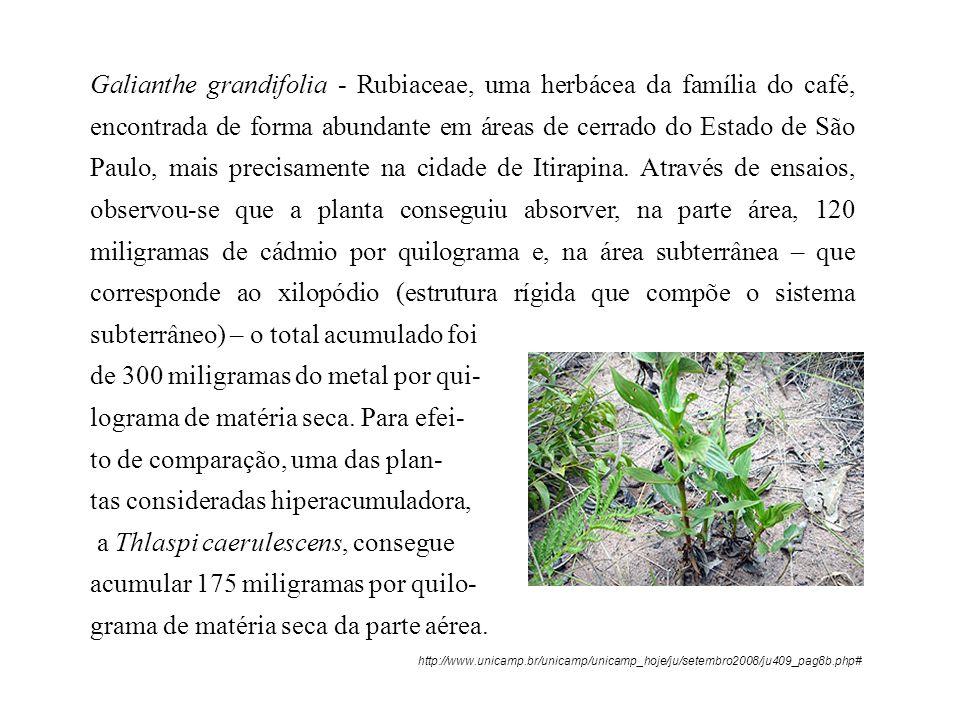 Galianthe grandifolia - Rubiaceae, uma herbácea da família do café, encontrada de forma abundante em áreas de cerrado do Estado de São Paulo, mais pre