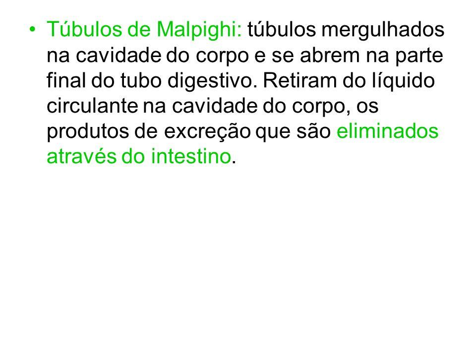 Túbulos de Malpighi: túbulos mergulhados na cavidade do corpo e se abrem na parte final do tubo digestivo. Retiram do líquido circulante na cavidade d