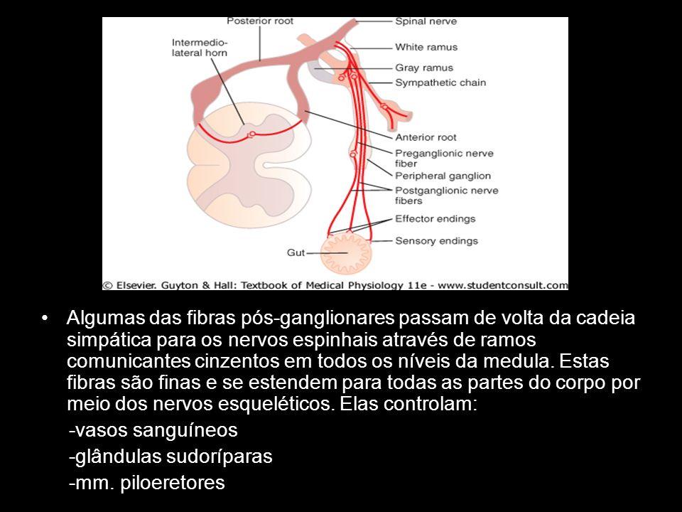 Algumas das fibras pós-ganglionares passam de volta da cadeia simpática para os nervos espinhais através de ramos comunicantes cinzentos em todos os n