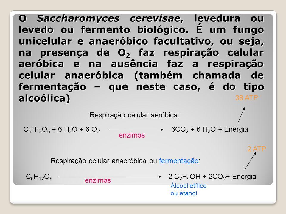 O Saccharomyces cerevisae, levedura ou levedo ou fermento biológico. É um fungo unicelular e anaeróbico facultativo, ou seja, na presença de O 2 faz r