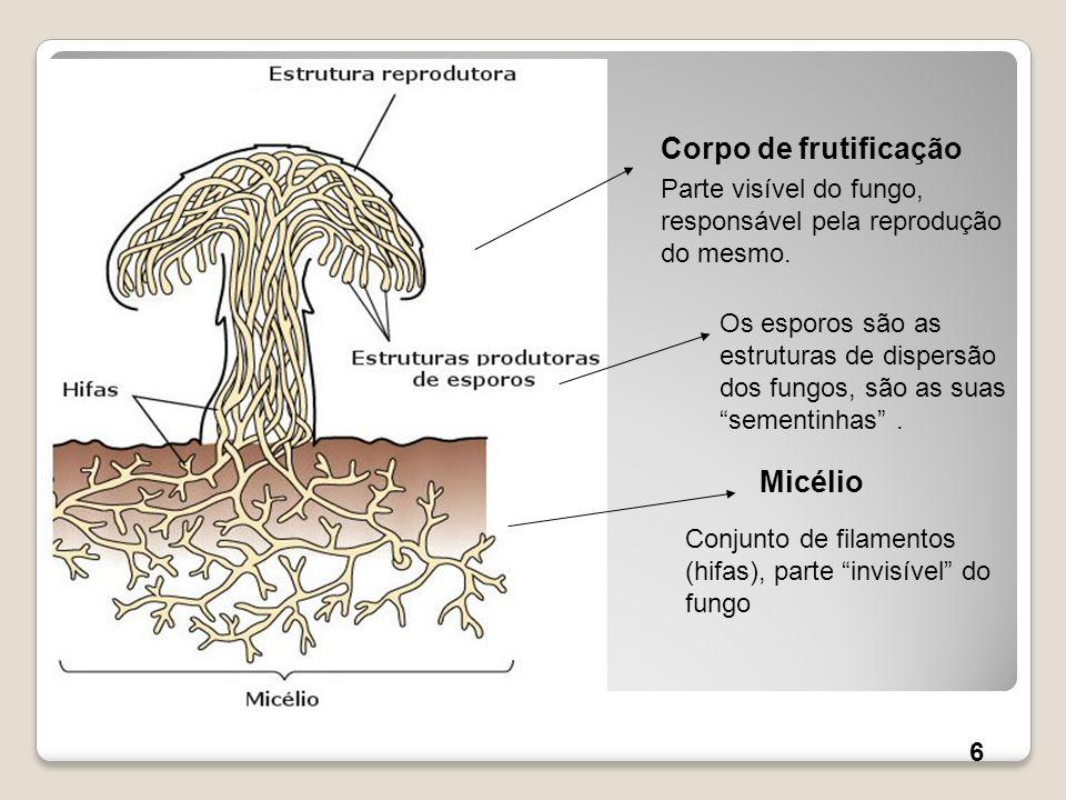 Corpo de frutificação Micélio Conjunto de filamentos (hifas), parte invisível do fungo Os esporos são as estruturas de dispersão dos fungos, são as su
