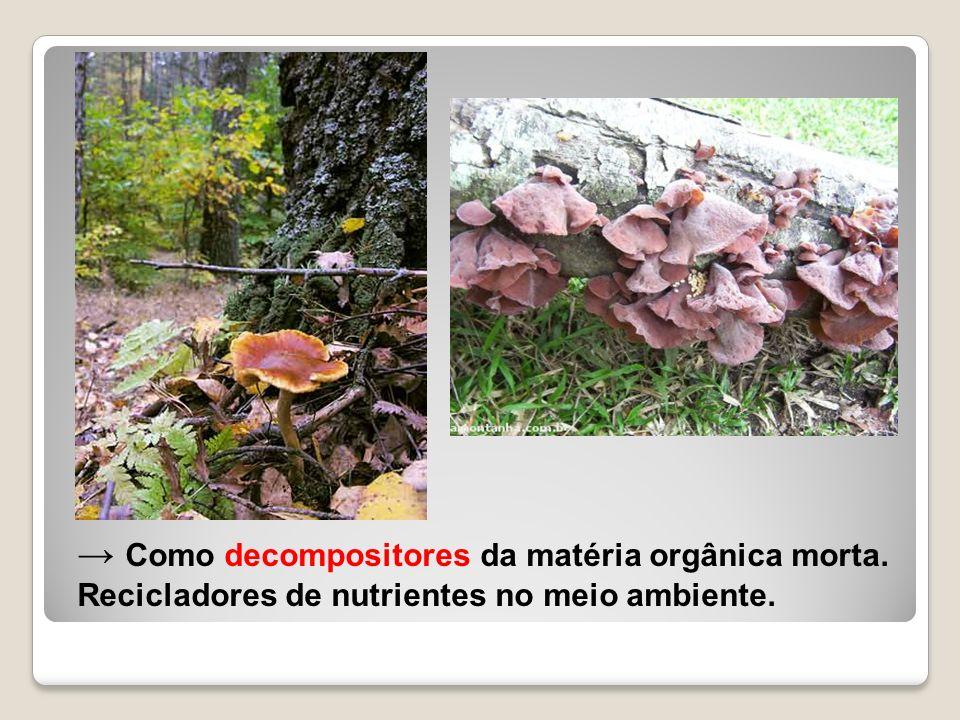 Como decompositores da matéria orgânica morta. Recicladores de nutrientes no meio ambiente.