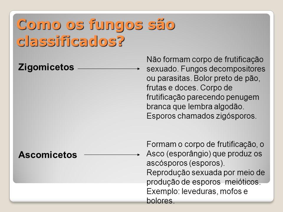 Como os fungos são classificados? Zigomicetos Ascomicetos Não formam corpo de frutificação sexuado. Fungos decompositores ou parasitas. Bolor preto de