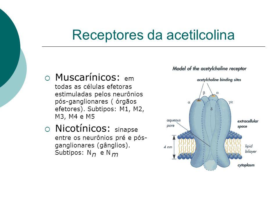 Receptores da acetilcolina Muscarínicos: em todas as células efetoras estimuladas pelos neurônios pós-ganglionares ( órgãos efetores). Subtipos: M1, M