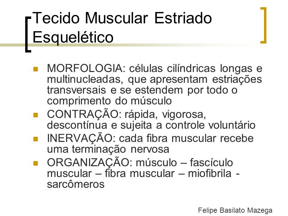 Tecido Muscular Estriado Esquelético MORFOLOGIA: células cilíndricas longas e multinucleadas, que apresentam estriações transversais e se estendem por
