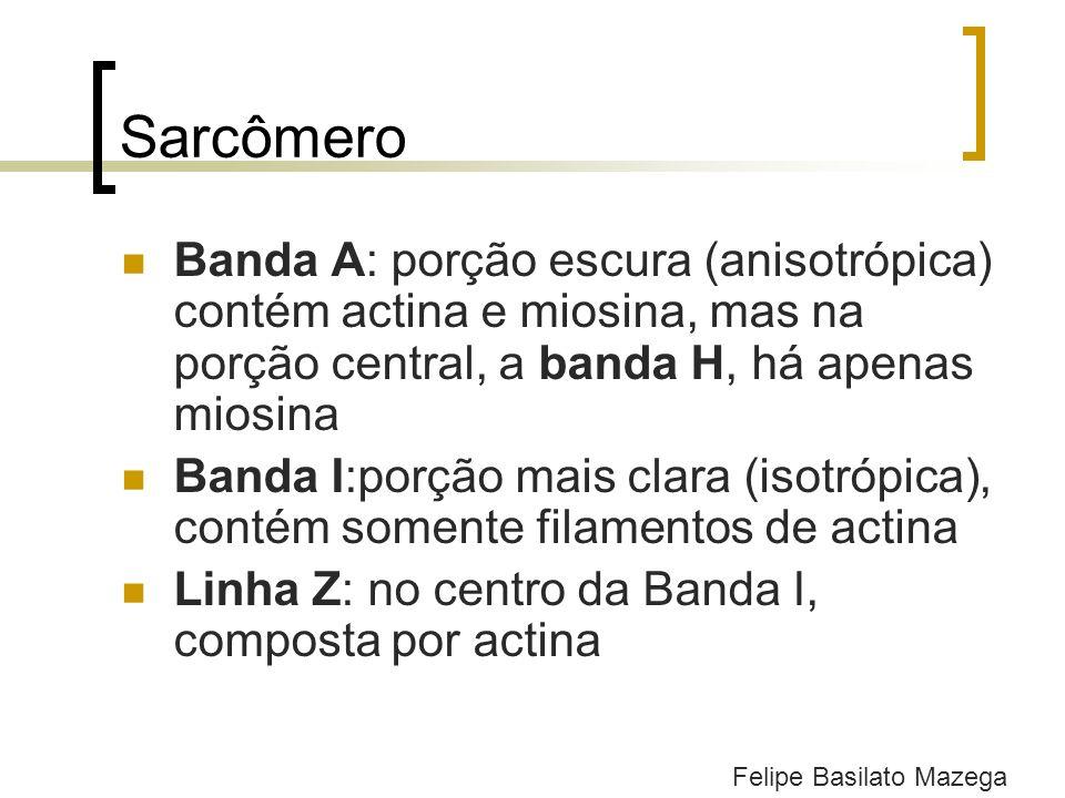 Sarcômero Banda A: porção escura (anisotrópica) contém actina e miosina, mas na porção central, a banda H, há apenas miosina Banda I:porção mais clara