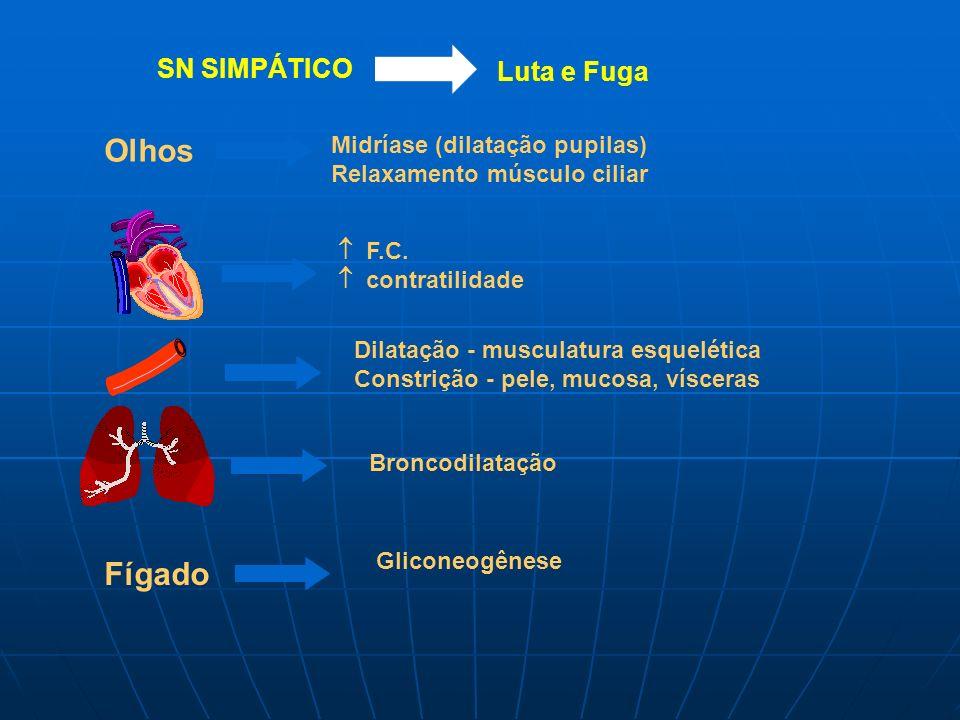 SN SIMPÁTICO Luta e Fuga Olhos Midríase (dilatação pupilas) Relaxamento músculo ciliar F.C. contratilidade Dilatação - musculatura esquelética Constri
