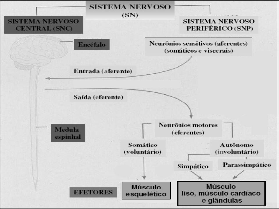 Definições Fibras aferentes: - Somáticas = Extereoceptivas – tato, pressão, dor e temperatura.