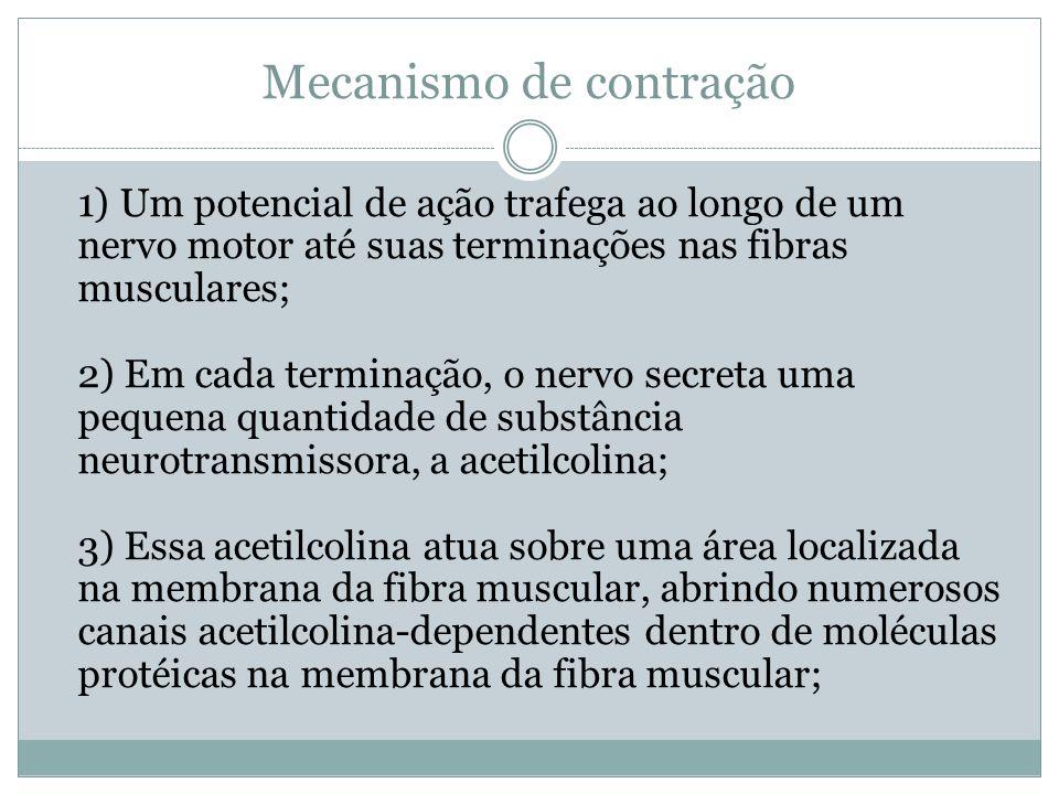Mecanismo de contração 1) Um potencial de ação trafega ao longo de um nervo motor até suas terminações nas fibras musculares; 2) Em cada terminação, o