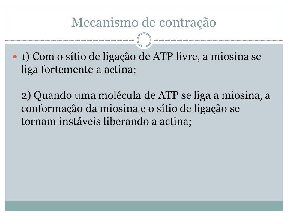 1) Com o sítio de ligação de ATP livre, a miosina se liga fortemente a actina; 2) Quando uma molécula de ATP se liga a miosina, a conformação da miosi