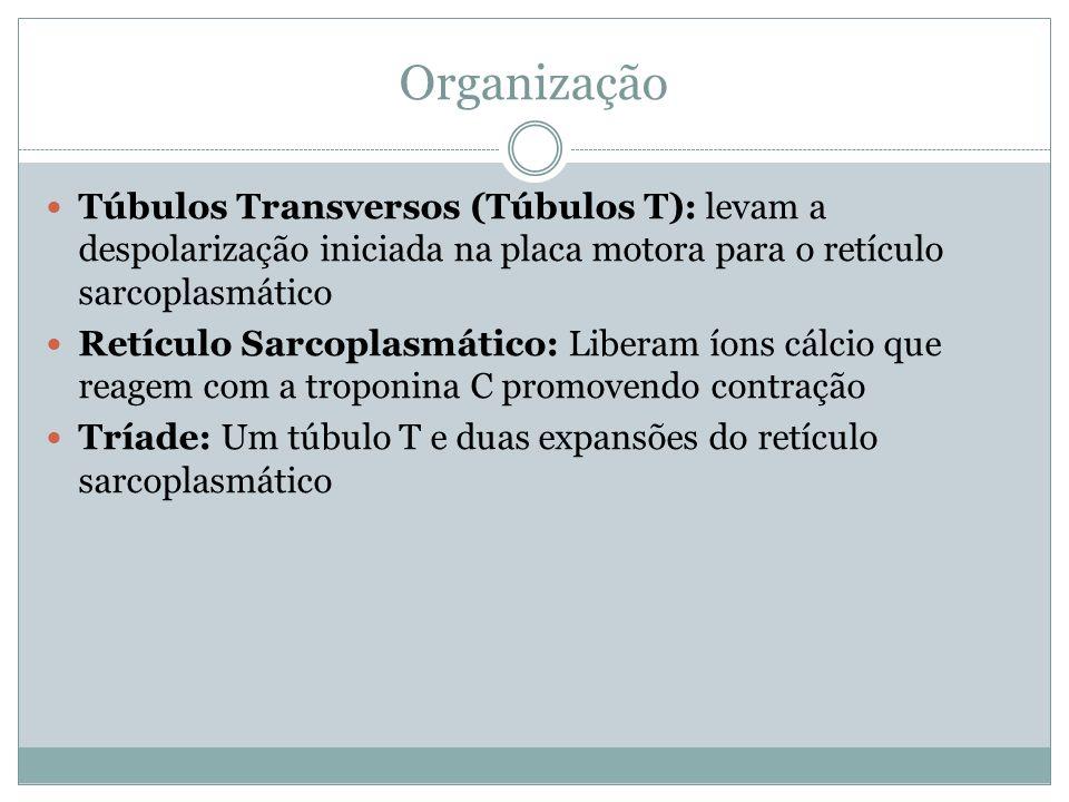 Túbulos Transversos (Túbulos T): levam a despolarização iniciada na placa motora para o retículo sarcoplasmático Retículo Sarcoplasmático: Liberam íon