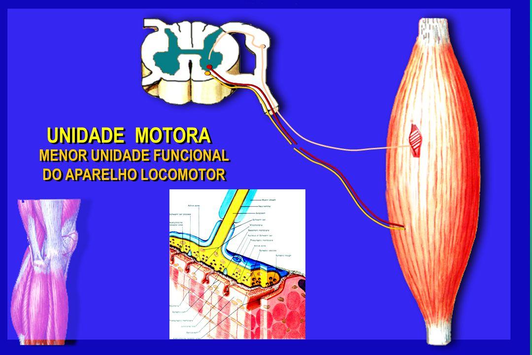 UNIDADE MOTORA MENOR UNIDADE FUNCIONAL DO APARELHO LOCOMOTOR