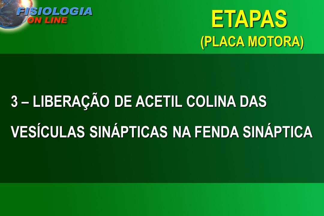 3 – LIBERAÇÃO DE ACETIL COLINA DAS VESÍCULAS SINÁPTICAS NA FENDA SINÁPTICA