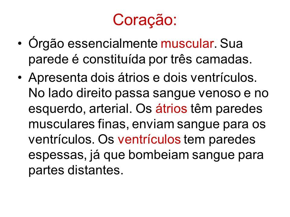 Coração: Órgão essencialmente muscular. Sua parede é constituída por três camadas. Apresenta dois átrios e dois ventrículos. No lado direito passa san