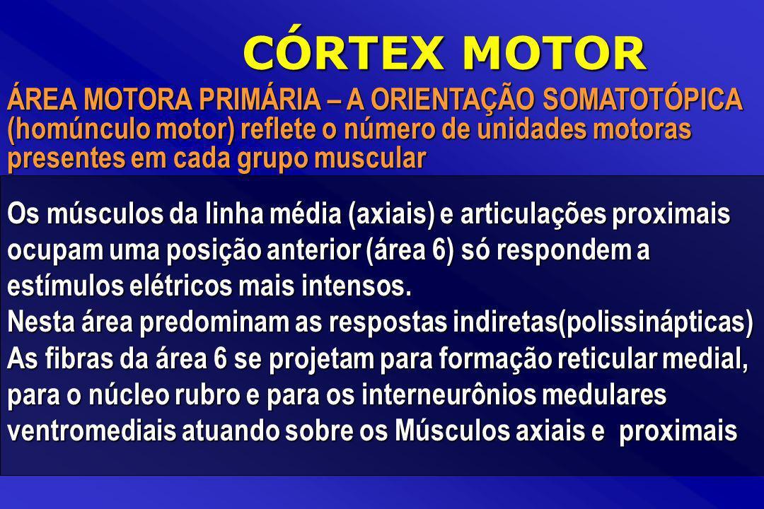 ÁREA MOTORA PRIMÁRIA – A ORIENTAÇÃO SOMATOTÓPICA (homúnculo motor) reflete o número de unidades motoras presentes em cada grupo muscular CÓRTEX MOTOR