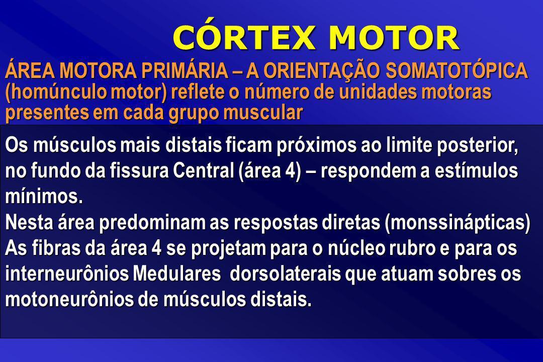 CÓRTEX MOTOR Os músculos mais distais ficam próximos ao limite posterior, no fundo da fissura Central (área 4) – respondem a estímulos mínimos. Nesta
