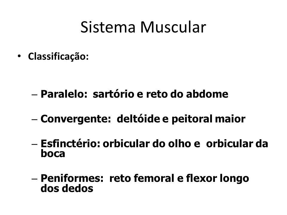 Sistema Muscular Classificação: – Paralelo: sartório e reto do abdome – Convergente: deltóide e peitoral maior – Esfinctério: orbicular do olho e orbi