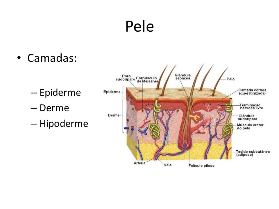 Pele Camadas: – Epiderme – Derme – Hipoderme