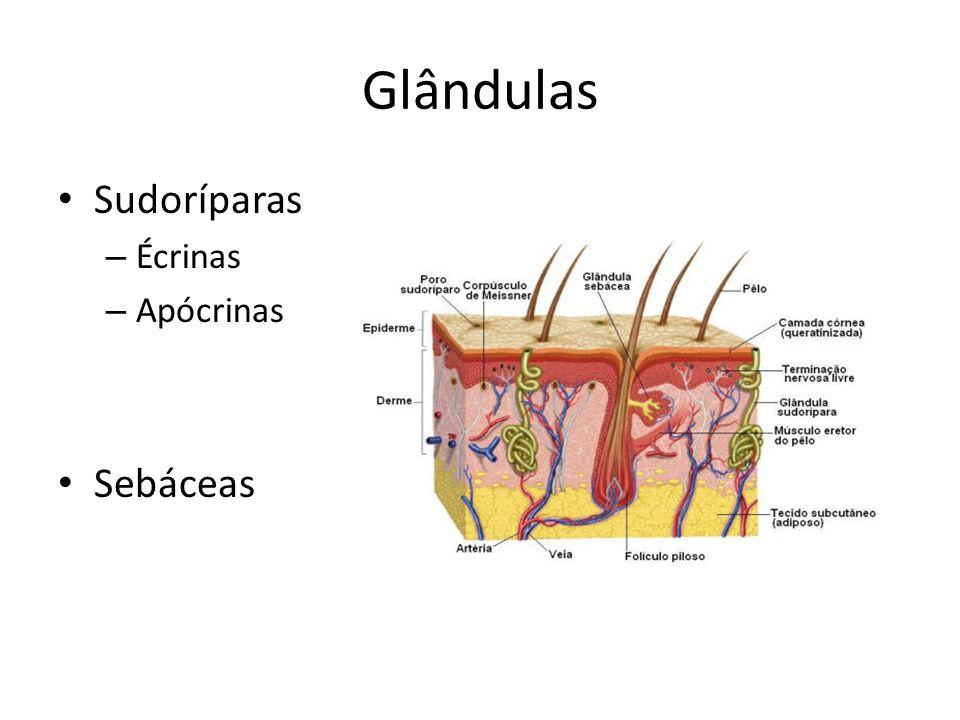 Glândulas Sudoríparas – Écrinas – Apócrinas Sebáceas