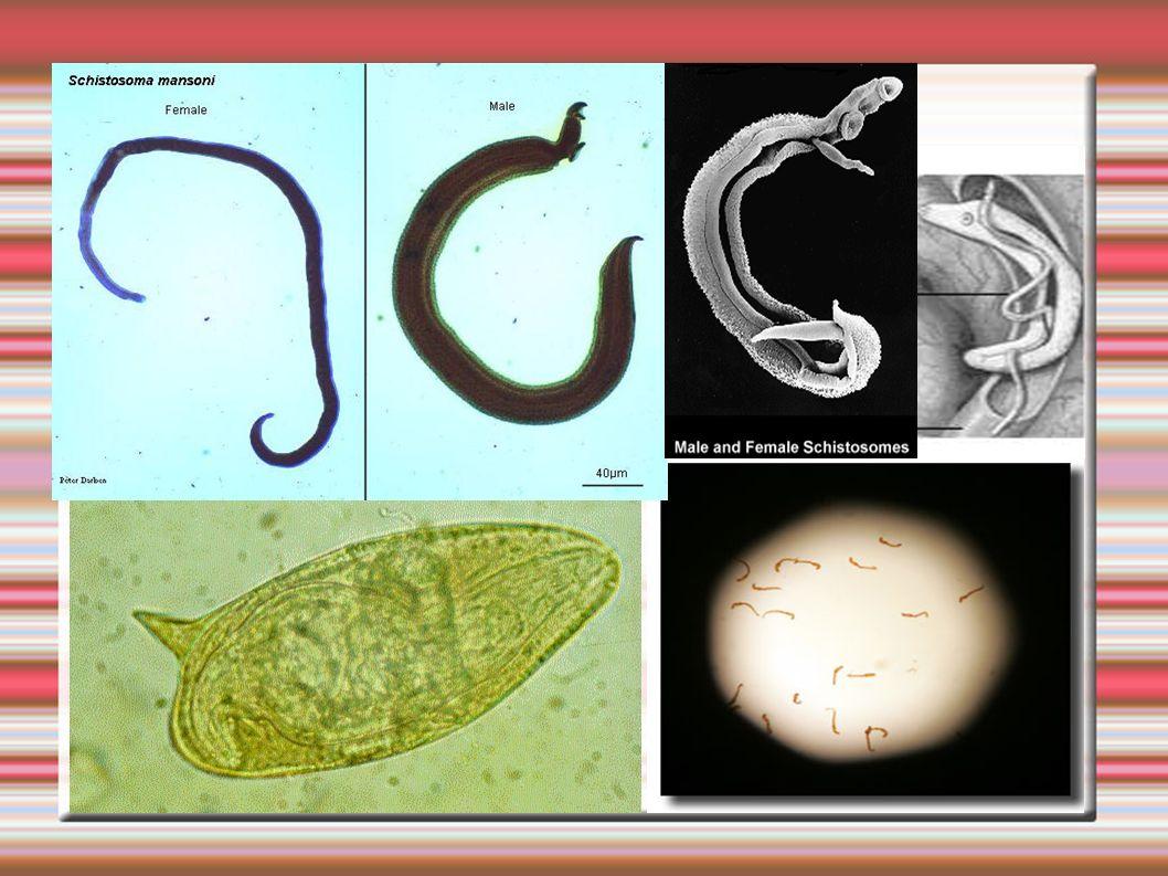 Ciclo do S.mansoni Infestação- oral ou pele(coceira) Vermes adultos – fígado e sist.