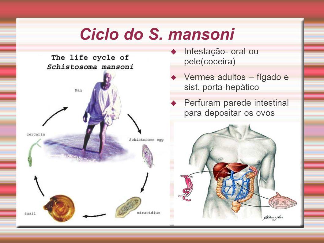 Ciclo do S. mansoni Infestação- oral ou pele(coceira) Vermes adultos – fígado e sist. porta-hepático Perfuram parede intestinal para depositar os ovos