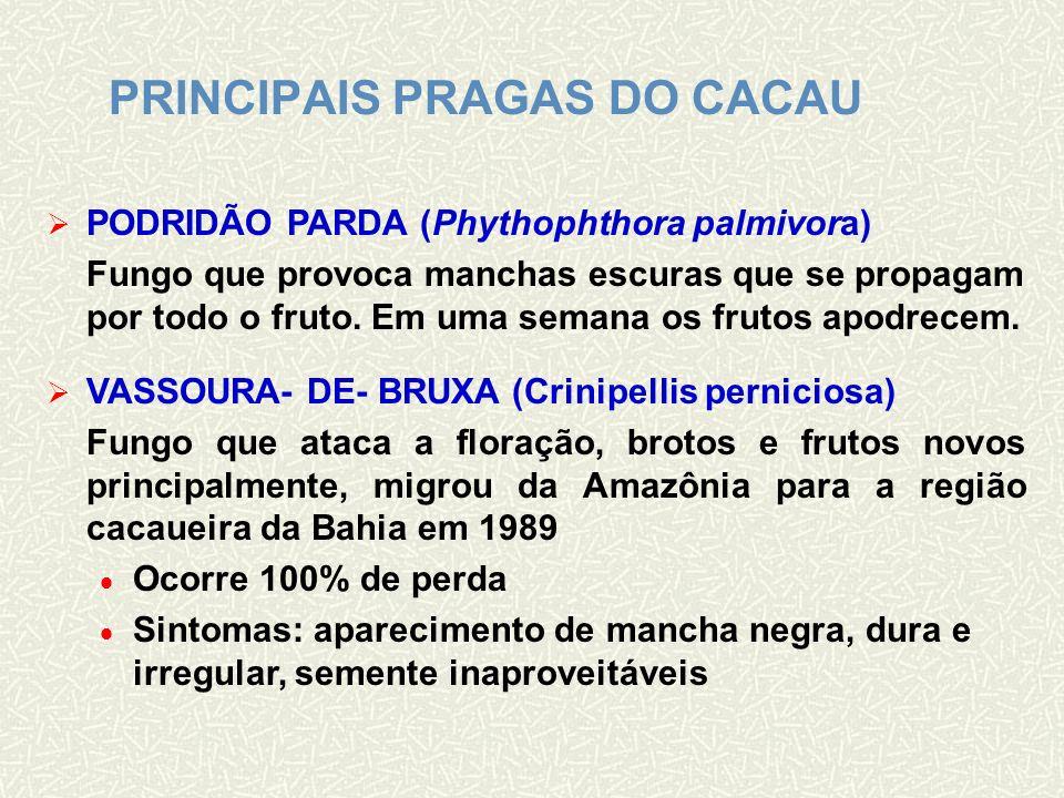 FRUTO INFECTADO PELA VASSOURA-DE-BRUXA
