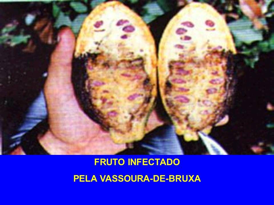 CONTROLE RECOMENDAÇÕES CEPLAC: * óxido cuproso (cobre) * tebuconazole (Folicur) * Cortar os galhos afetados 20 cm abaixo do ponto de infecção (vassoura), retirando parte da casca.