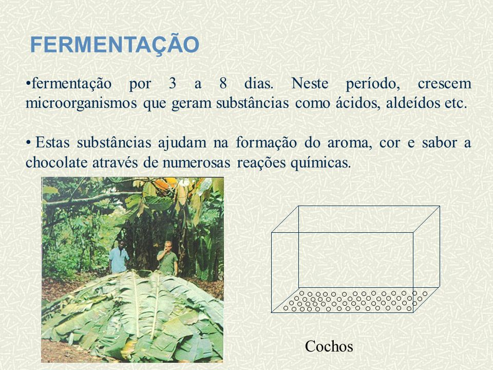 SECAGEM As sementes são espalhadas no chão ao sol para secar por 7 a 10 dias.