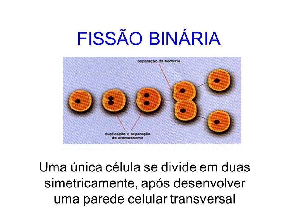 FISSÃO BINÁRIA Uma única célula se divide em duas simetricamente, após desenvolver uma parede celular transversal