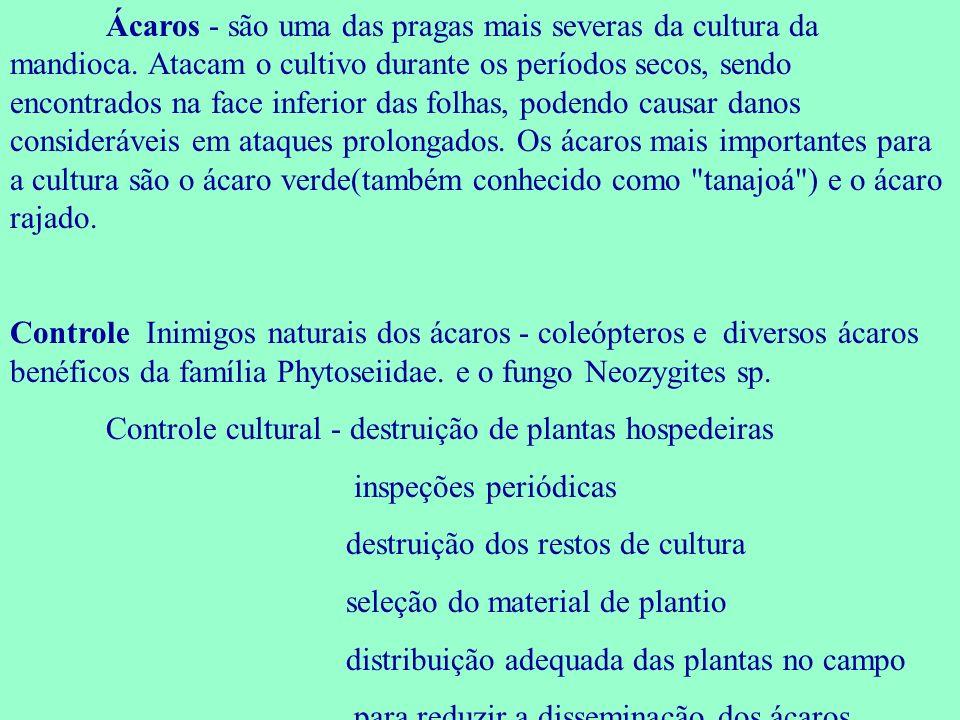 Ácaros - são uma das pragas mais severas da cultura da mandioca. Atacam o cultivo durante os períodos secos, sendo encontrados na face inferior das fo