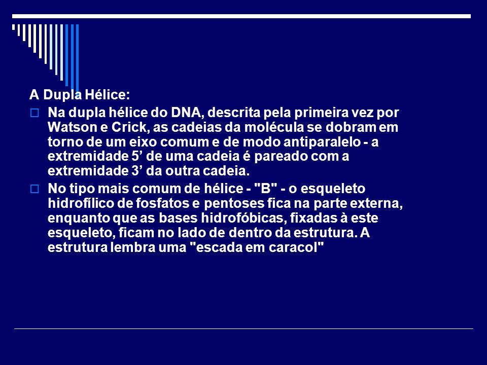 A Dupla Hélice: Na dupla hélice do DNA, descrita pela primeira vez por Watson e Crick, as cadeias da molécula se dobram em torno de um eixo comum e de