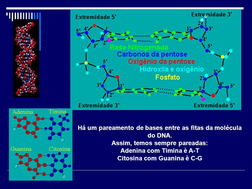 Há um pareamento de bases entre as fitas da molécula do DNA. Assim, temos sempre pareadas: Adenina com Timina è A-T Citosina com Guanina è C-G