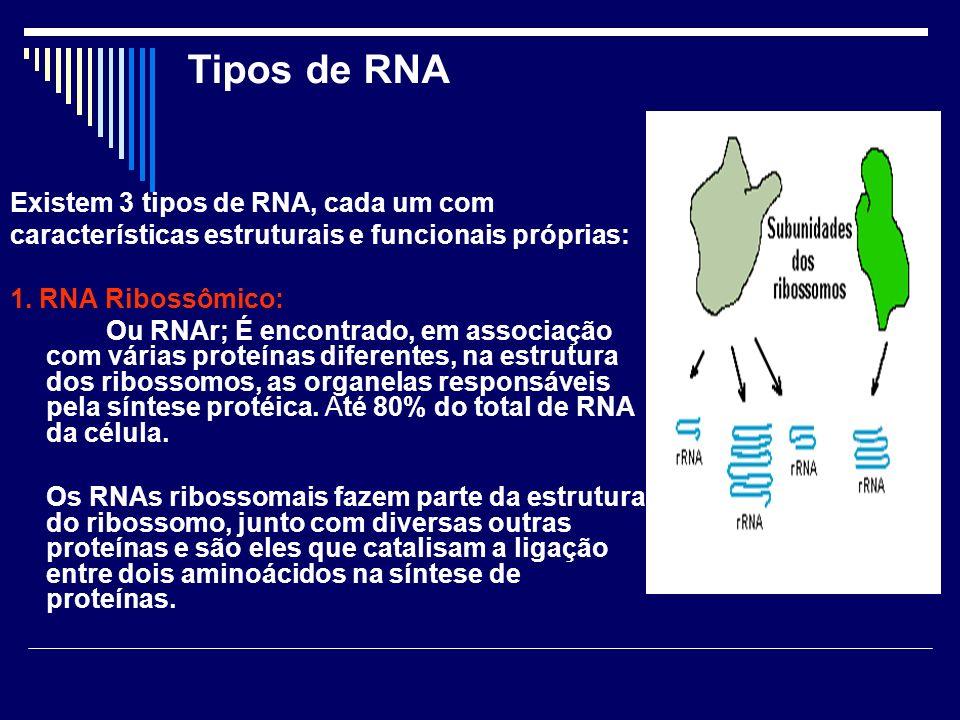 Tipos de RNA Existem 3 tipos de RNA, cada um com características estruturais e funcionais próprias: 1. RNA Ribossômico: Ou RNAr; É encontrado, em asso