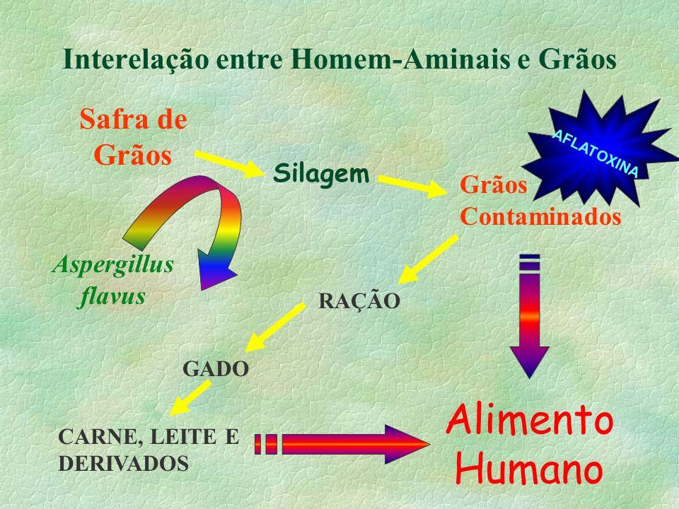 Interelação entre Homem-Aminais e Grãos Safra de Grãos Silagem Aspergillus flavus Grãos Contaminados Alimento Humano AFLATOXINA RAÇÃO GADO CARNE, LEIT