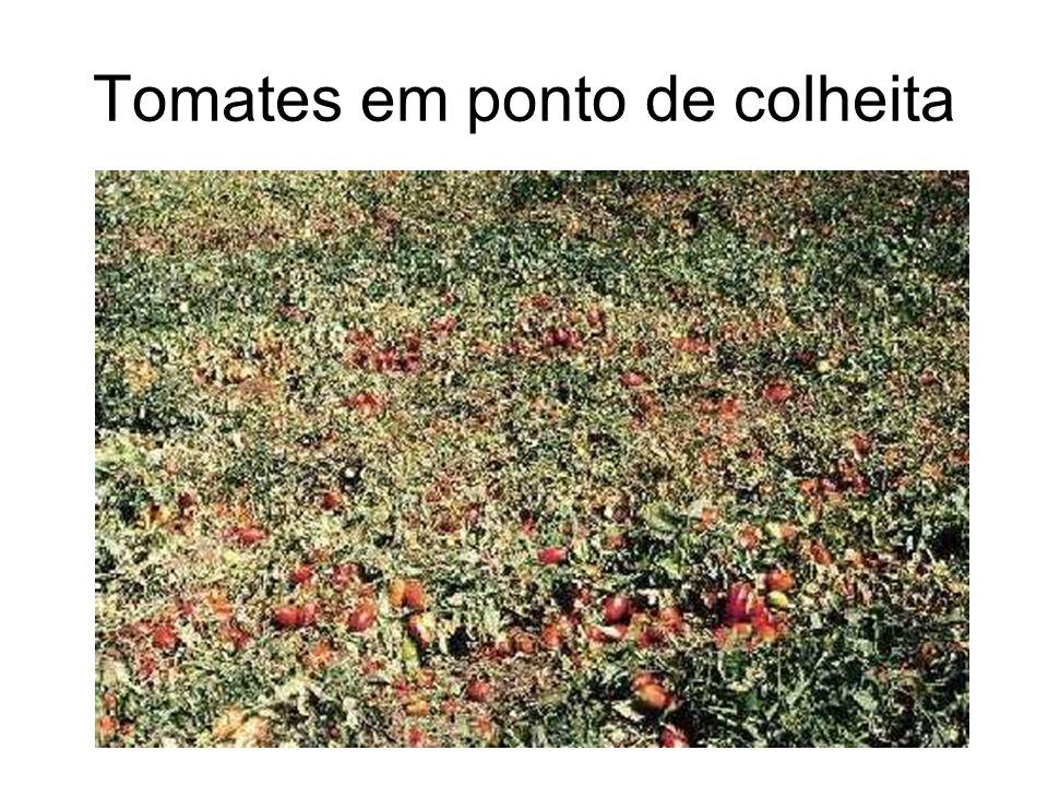 Tomates em ponto de colheita
