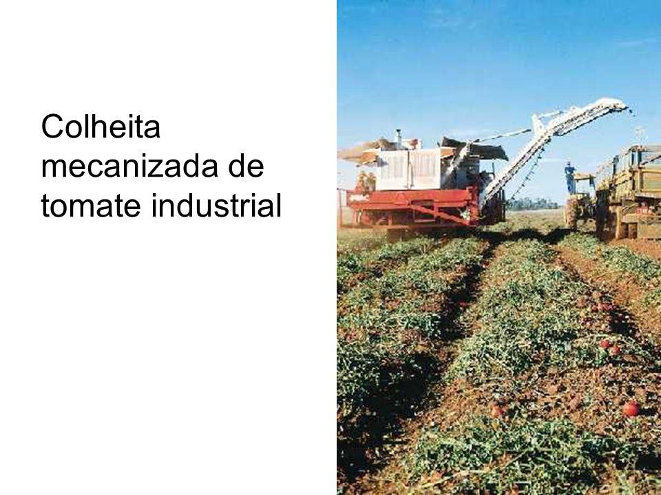 Colheita mecanizada de tomate industrial