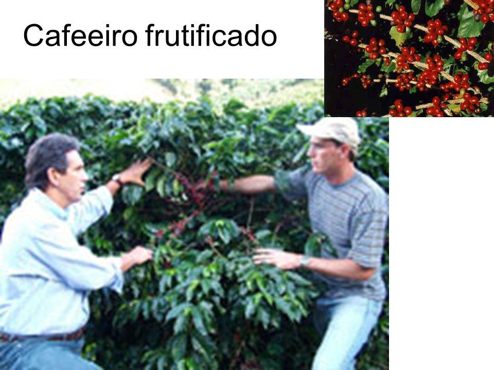 Cafeeiro frutificado
