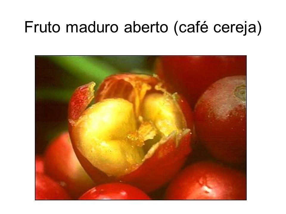 Fruto maduro aberto (café cereja)