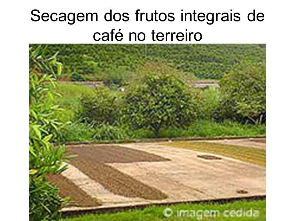 Secagem dos frutos integrais de café no terreiro