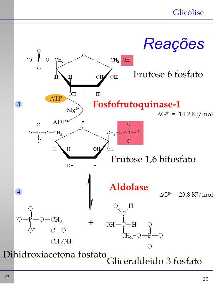 20 WF Reações Glicólise Fosfofrutoquinase-1 G 0 = -14.2 KJ/mol ATP ADP Mg 2+ + - - Aldolase G 0 = 23.8 KJ/mol 3 4 Frutose 6 fosfato Frutose 1,6 bifosfato Dihidroxiacetona fosfato Gliceraldeido 3 fosfato