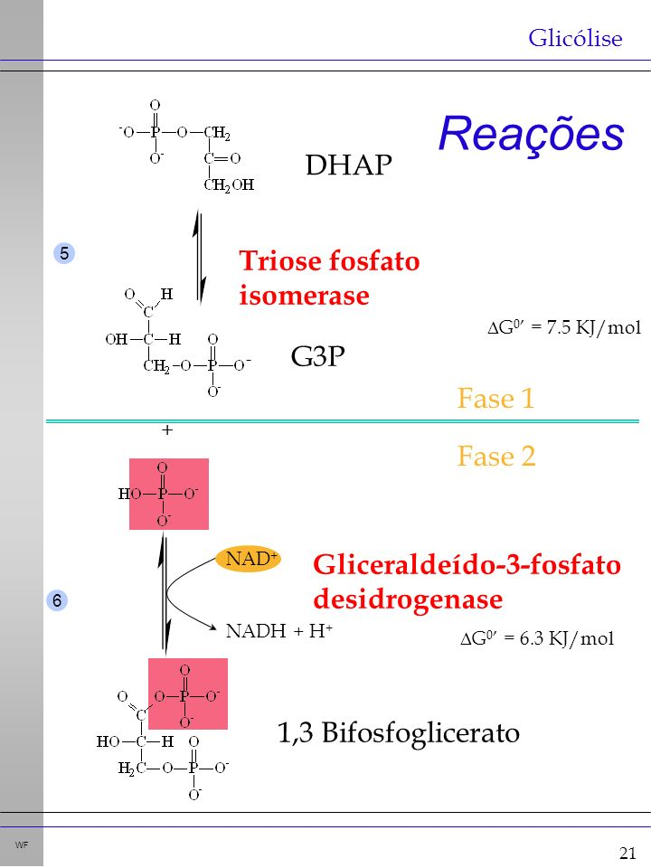 21 WF Reações Glicólise - Triose fosfato isomerase G 0 = 7.5 KJ/mol + Gliceraldeído-3-fosfato desidrogenase G 0 = 6.3 KJ/mol NAD + NADH + H + 5 6 Fase 1 Fase 2 DHAP G3P 1,3 Bifosfoglicerato