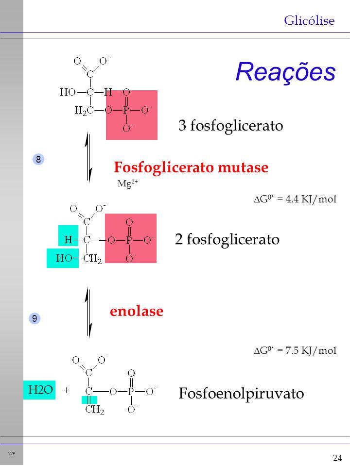 24 WF Reações Glicólise H2O+ Fosfoglicerato mutase G 0 = 4.4 KJ/mol enolase G 0 = 7.5 KJ/mol Mg 2+ 8 9 3 fosfoglicerato 2 fosfoglicerato Fosfoenolpiruvato