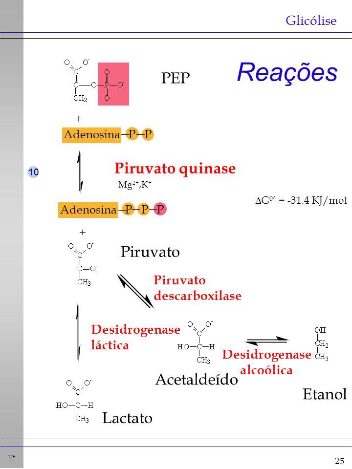 25 WF Reações Glicólise Adenosina P P + + Adenosina P P P Piruvato quinase G 0 = -31.4 KJ/mol Mg 2+,K + 10 Desidrogenase láctica Piruvato descarboxilase Desidrogenase alcoólica Piruvato PEP Acetaldeído Etanol Lactato