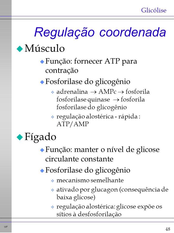 48 WF Regulação coordenada u Músculo u Função: fornecer ATP para contração u Fosforilase do glicogênio v adrenalina AMPc fosforila fosforilase quinase fosforila fosforilase do glicogênio v regulação alostérica - rápida : ATP/AMP u Fígado u Função: manter o nível de glicose circulante constante u Fosforilase do glicogênio v mecanismo semelhante v ativado por glucagon (consequência de baixa glicose) v regulação alostérica: glicose expõe os sítios à desfosforilação Glicólise